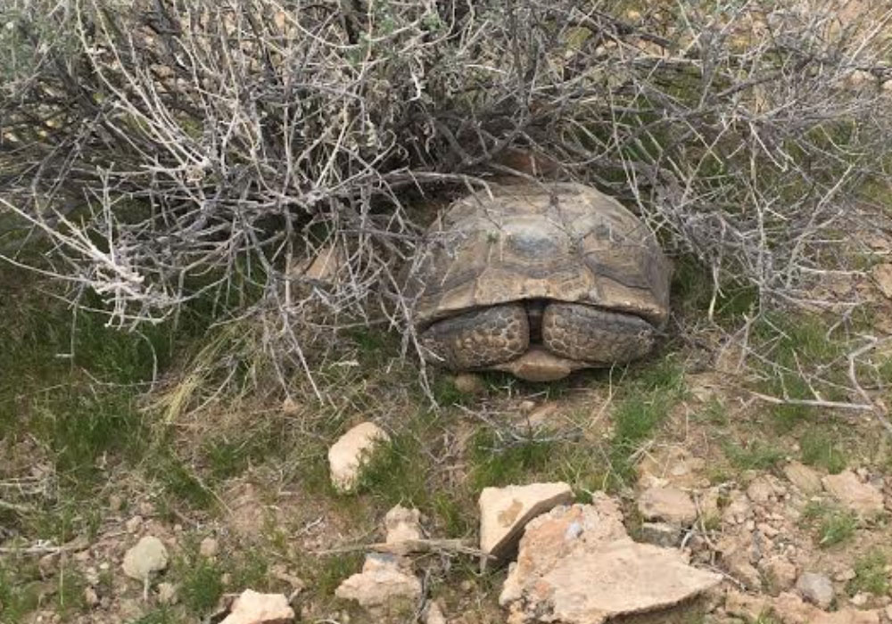 Mach8 Desert Tortoise